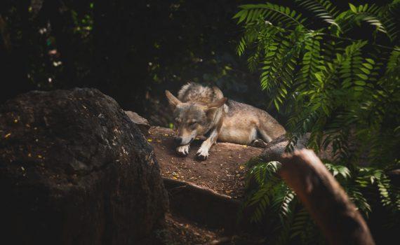 ansiedlung_wolf